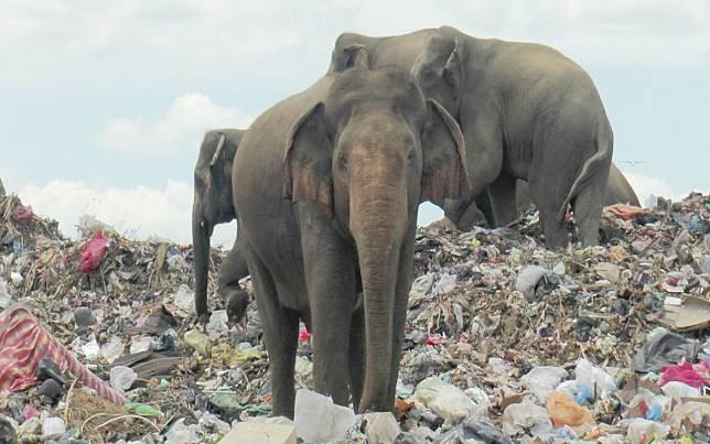 Miris Lihat Gajah Makan Sampah Plastik, Sri Lanka Gali Parit Blokir Akses Masuk TPA