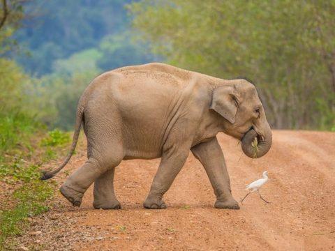 Kaavan Si Gajah Paling Kesepian di Dunia Dipindahkan dari Pakistan ke Kamboja